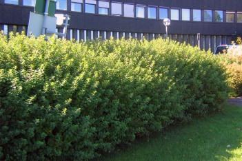 Spiraea betulifolia sommar