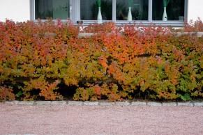 Björkspirea 'Tor' är lagom stor för att plantera under fönster, men om den som här har ett stöd att luta sig mot kan den bli lite för hög.