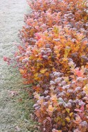 Björkspirea behåller bladen länge