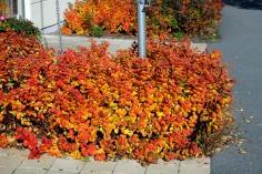 Björkspirea 'Tor' får kraftiga höstfärger.
