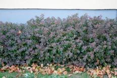 I rika jordar och varma lägen blir de yttersta bladen ofta plommonlila om hösten.