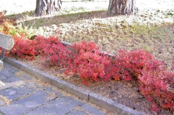 Här står buskarna för torrt, och når inte full storlek. Med bättre tillgång till vatten hade de fyllt ut rabatten även om de var planterade i rad.