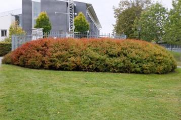 Björkspirea, Spiraea betulifolia 'Tor'