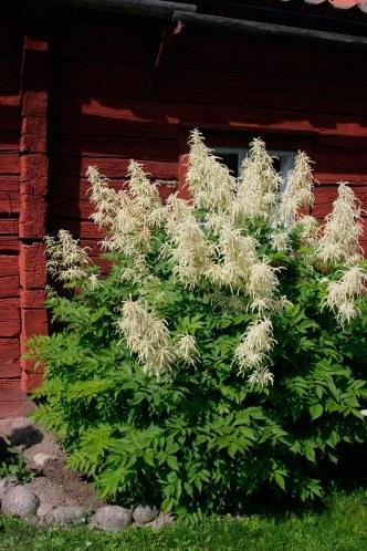 Plymspirea bör inte planteras framför låga fönster.