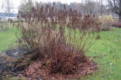 Vinterståndare av plymspirea (honplanta)