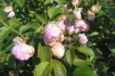 Rugosaros 'Dr. Selma Lagerlöf's blommor ruttnar lätt i fuktig väderlek