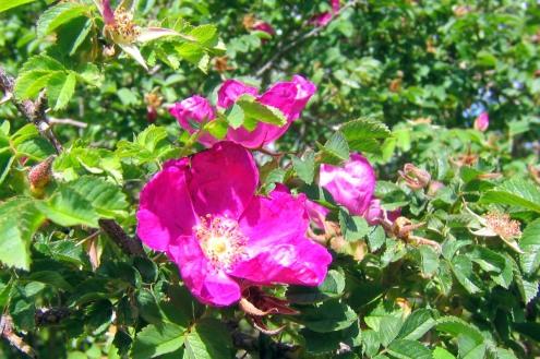 Blomma på söråkersrosen