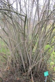 Söråkersrosen får kraftiga (och taggiga) grenar