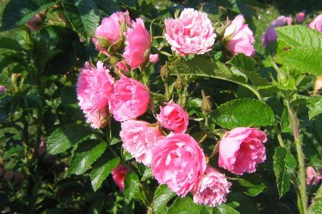 Rugosaros 'Pink Grootendorst'