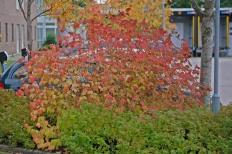 Manchurisk forsythia, Forsythia mandschurica höstfärger