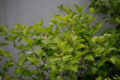 Manchurisk forsythia, Forsythia mandschurica