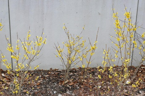 Manchurisk forsythia, Forsythia mandschurica på våren