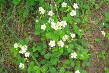 Smultron, Fragaria vesca, i blom