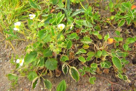 Smultron, Fragaria vesca 'Monophylla' i blom