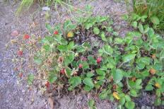 Smultron, Fragaria vesca 'Monophylla' med bär