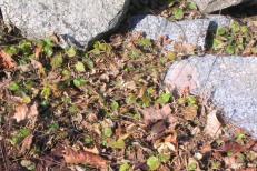 Smultron, Fragaria vesca 'Monophylla' tidig vår