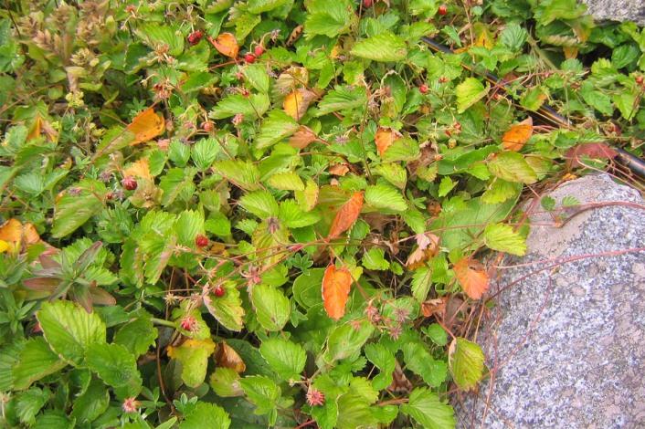 Smultron, Fragaria vesca 'Monophylla'