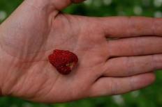 Smultron, Fragaria vesca 'Rödluvan' får stora bär