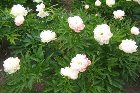 Bondpion 'Alba Plena' i blom