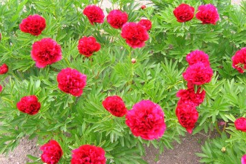 Bondpion 'Rubra Plena' blommor