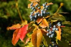 I soligt läge får en del blad höstfärger, som sitter i hela vintern.