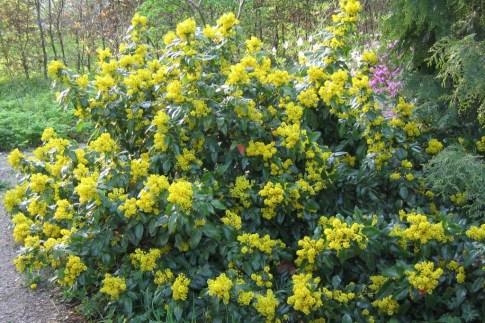 Blommande mahonia