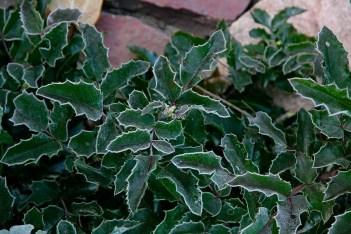 Mahonia med frostiga blad