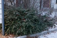 Eldtorn behåller gröna blade hela vintern