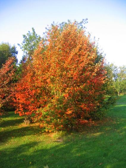 Kopparhäggmispel, Amelanchier laevis, buskform i hörsfärger