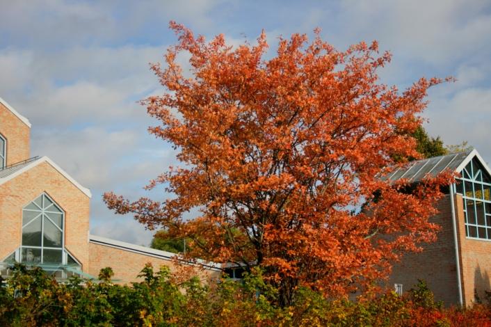 Kopparhäggmispel, Amelanchier laevis, trädform i höstfärger