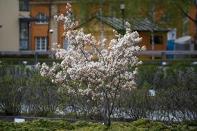 Ung kopparhäggmispel i blom
