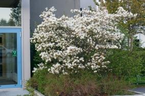 Kopparhäggmispel i blom