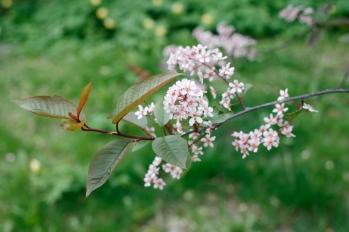 Blodhäggens blommor är ljusrosa med mörkare mitt, på mörkröda stjälkar. Helheten är gammelrosa.