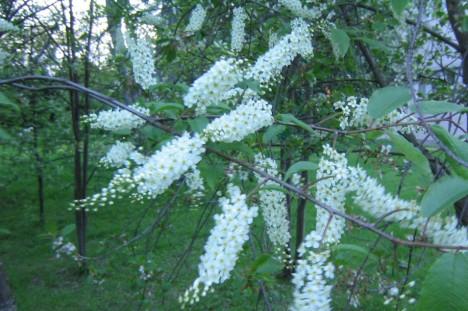'Watereri' har längre blomklasar, men de är inte bredare