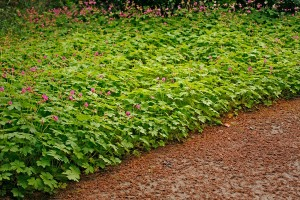 Flocknäva bildar frodiga mattor