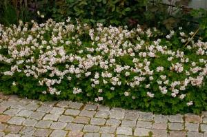 'Spessart' har ljusrosa blommor