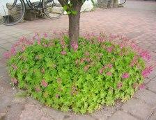 Grundformen av flocknäva har magentafärgade blommor