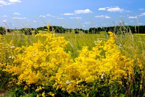 Gulmåra blommar överdådigt