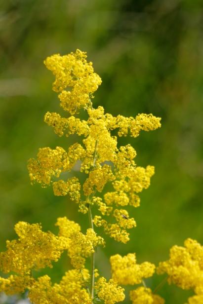Gulmåra har skira blommor, i massor