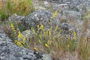 Gulmåra växer på karga skärgårdsklippor