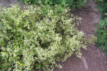 Gräddmåra är ibland nästan vit, men med gulmårans växtsätt.