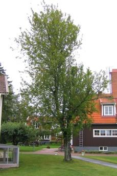 Vissa exemplar av hägg växer som enstammiga träd