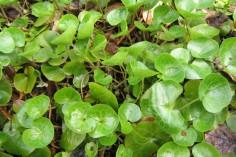 Unga blad av hasselört är ljusgröna
