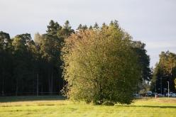 På hösten skiftar hägg ofta till en rödviolett ton