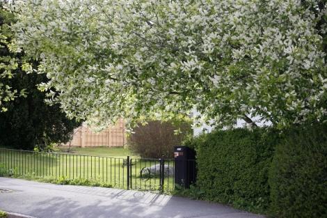 Plantera gärna häggen vid entrén, där du får känna doften