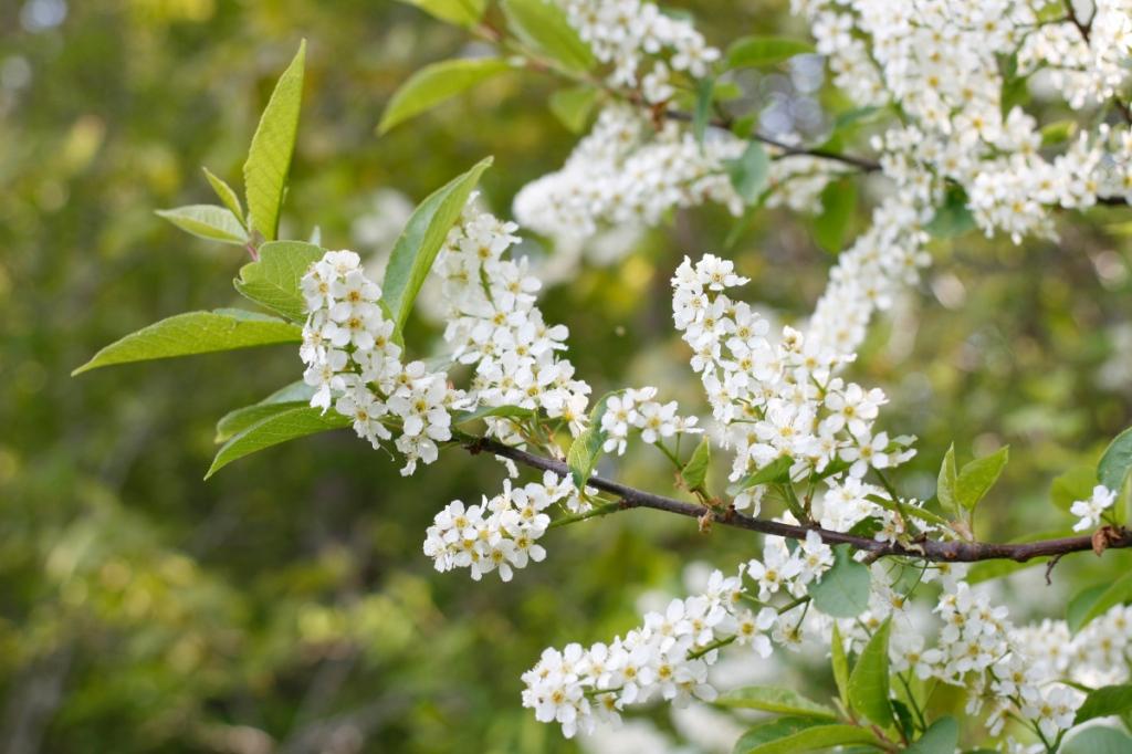 Häggblom, Prunus padus