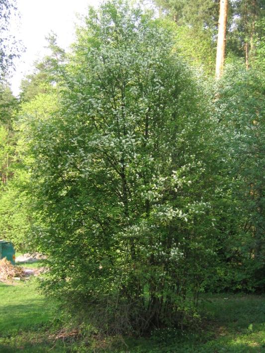 Om man föryngringsbeskär en hägg kommer ofta en bukett av nya grenar