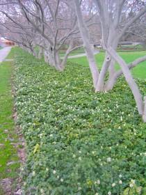 Skuggröna har vita blommor
