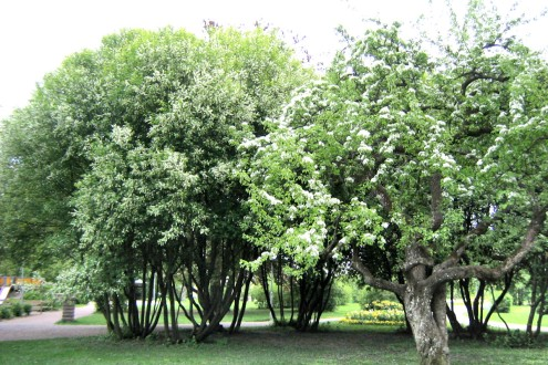Praktfullt buskage av flerstammiga häggar